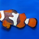Wild Percula Clownfish with Unusual Stripes