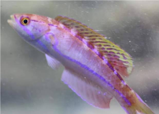 Mauritian Flasher Wrasse - Paracheilinus piscilineatus