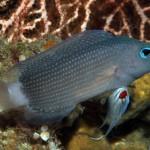 New Manonichthys Dottyback Species