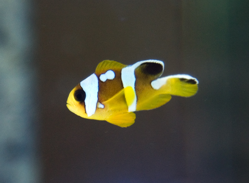 The new ora spotcintus clownfish seen locally aquanerd for Closest fish store