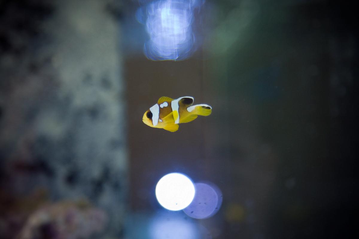 ORA Spotcinctus Clownfish