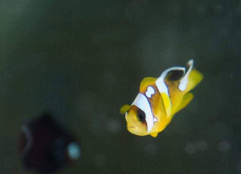 ORA's New Spotcinctus Clownfish
