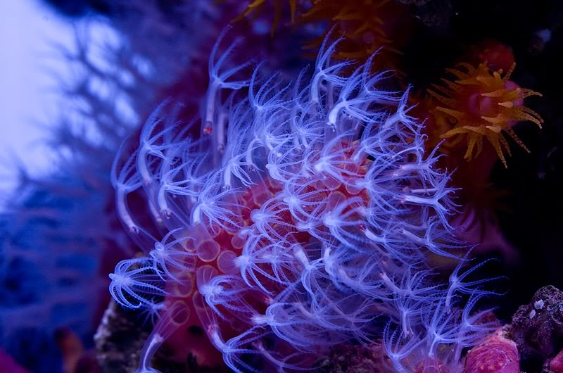 Paraminabea Coral