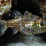 Siphamia Cardinalfish