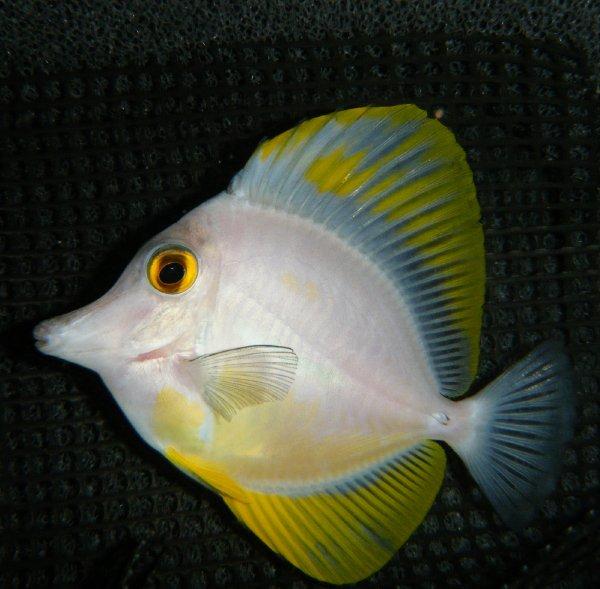 White Zebrasoma flavescens Tang