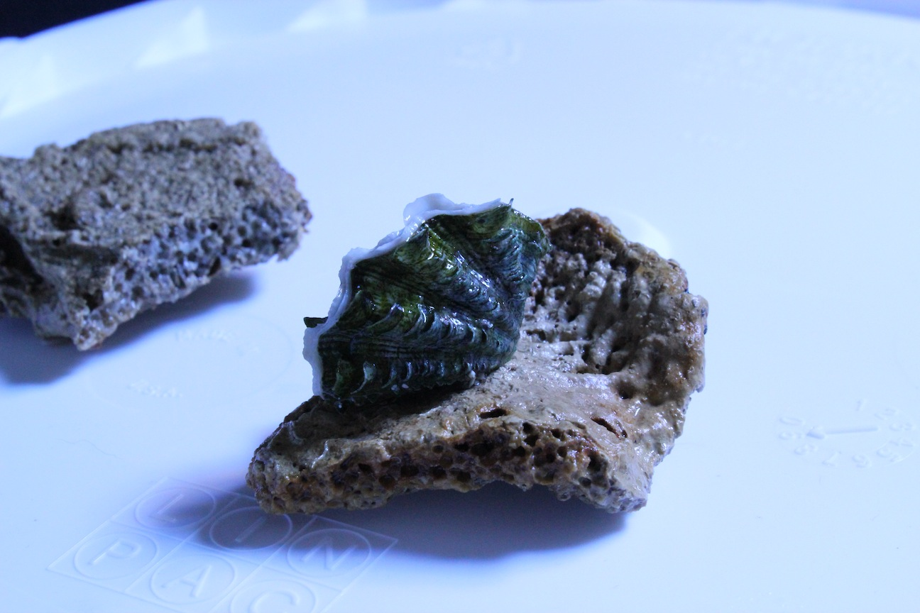 Flat Rock with Tridacna maxima