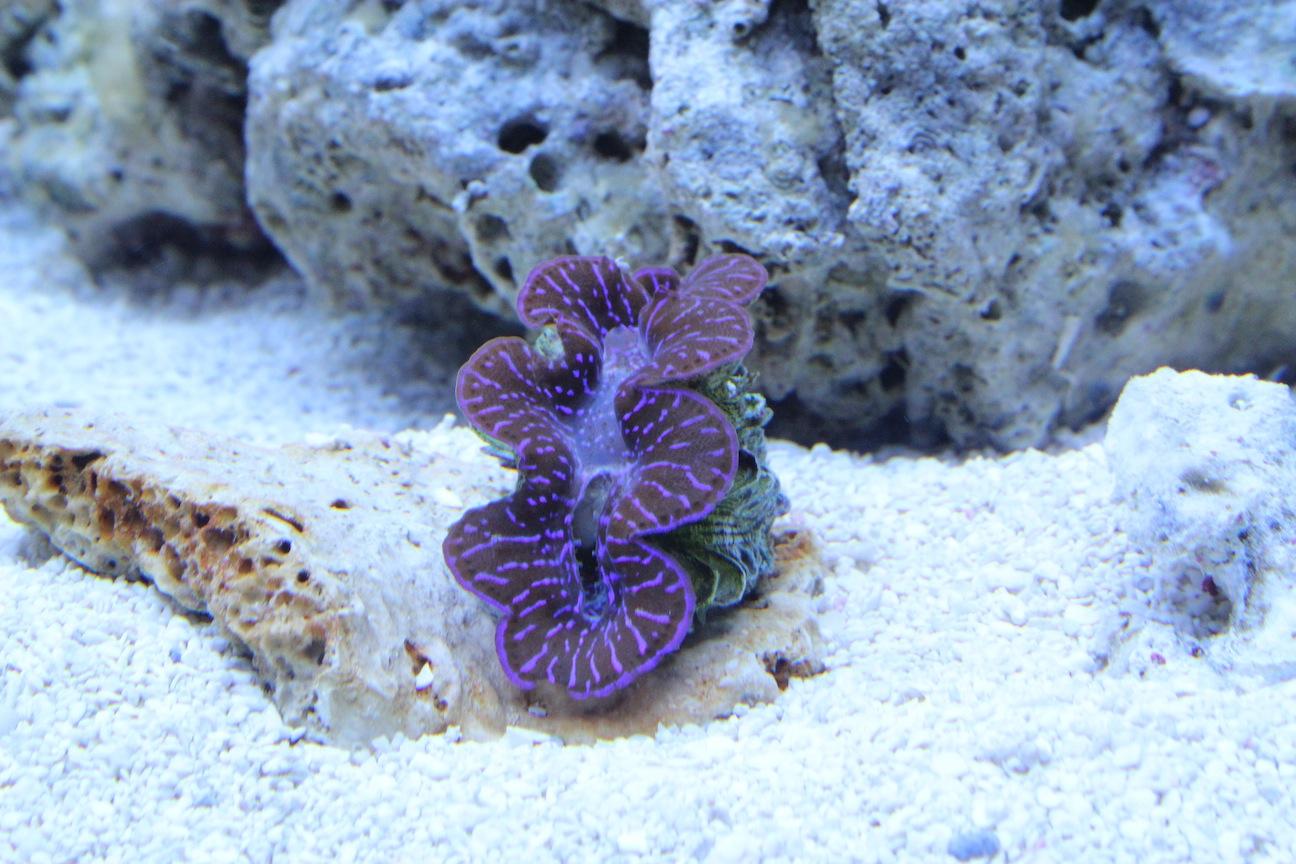 Maxima on Flat Rock in Aquarium