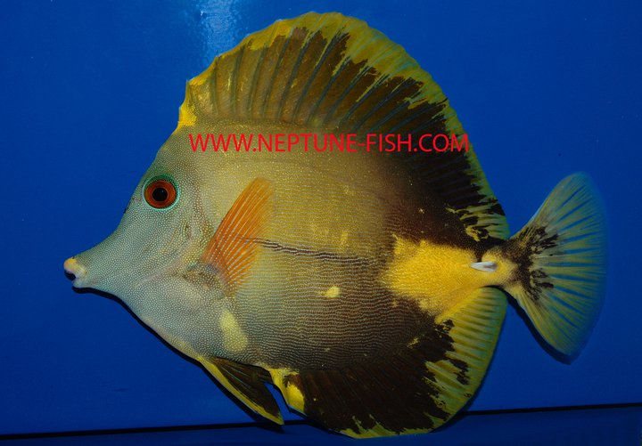 Mutated Scopas Tang