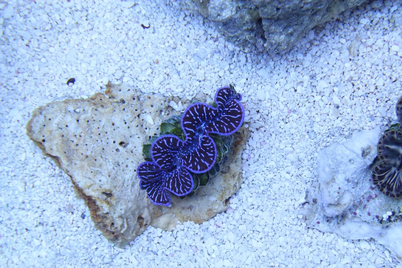 ORA Black and Blue Maxima Clam