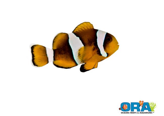 ORA Clarkii x Ocellaris Hybrid