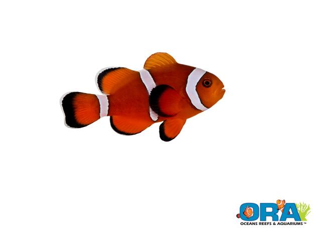 ORA Maroon x Ocellaris Hybrid