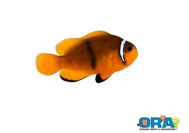 ORA Unidentified Hybrid Amphiprion