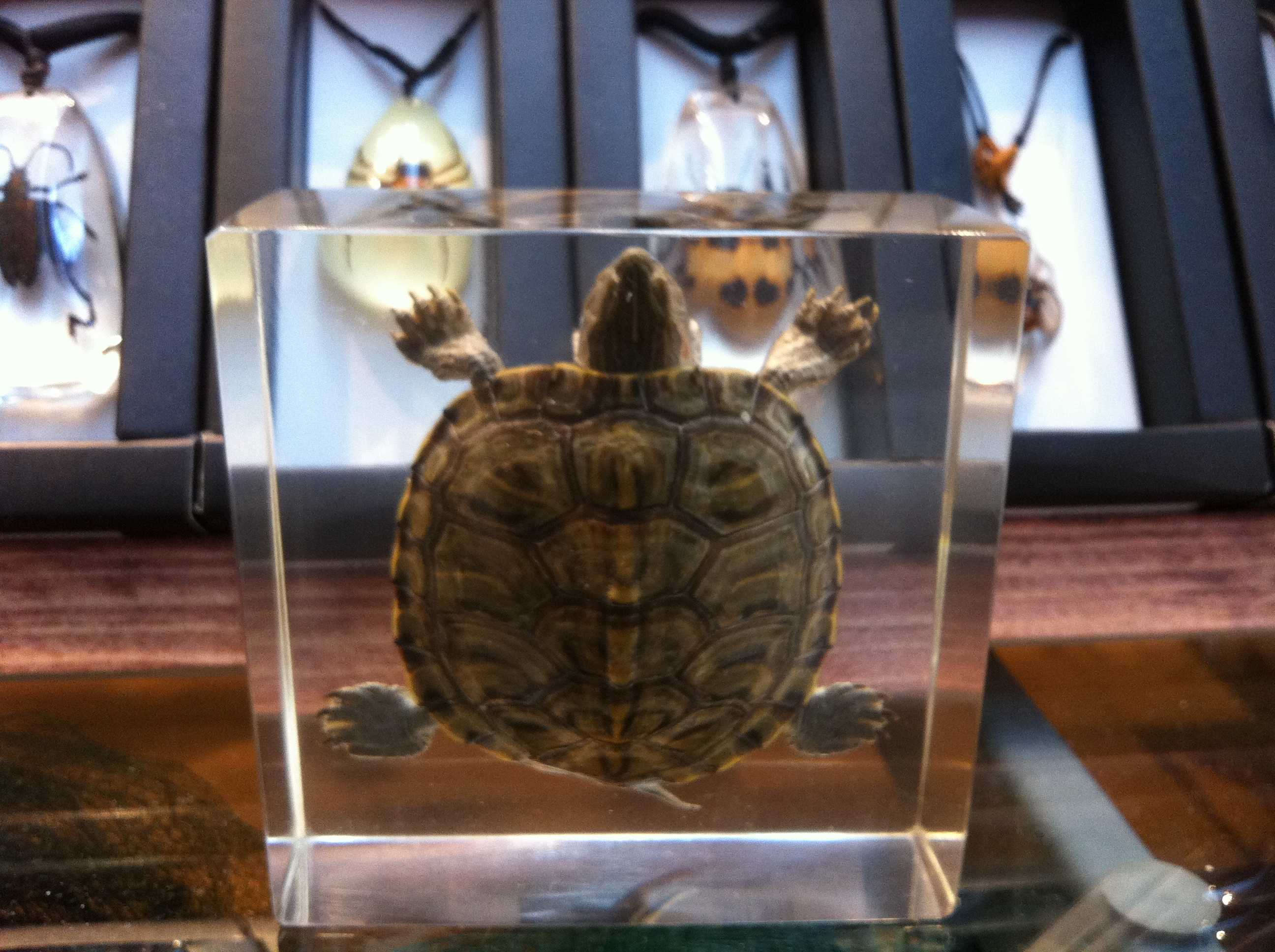 Red Ear Slider Encased in Acrylic