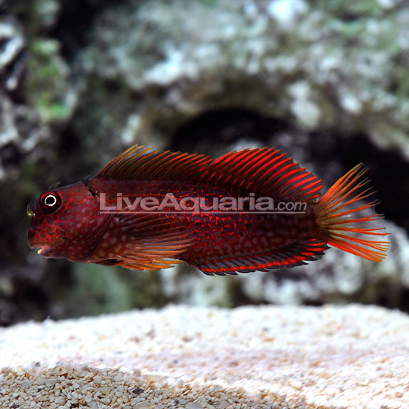 Ember Blenny Super Male (Cirripectes stigmaticus)