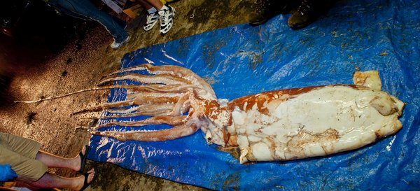 Giant Squid Caught by Fishermen