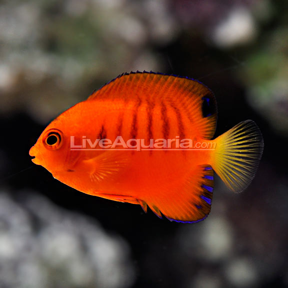 LiveAquaria Rusty x Flame Angel Hybrid