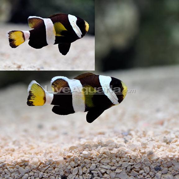 LiveAquaria Tank Bred Latezonatus Clownfish Pair