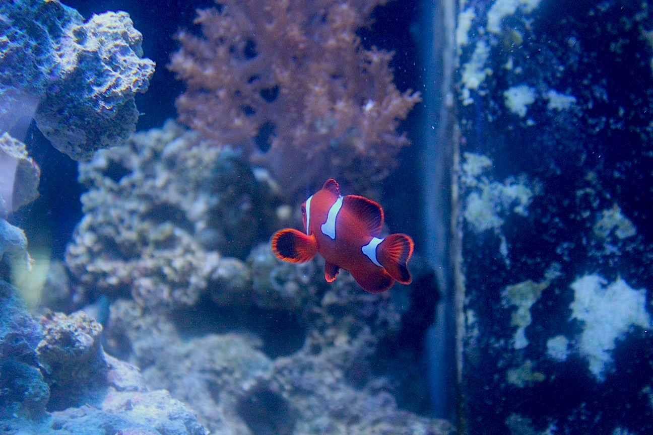 Maroon Clownfish with Misbarring