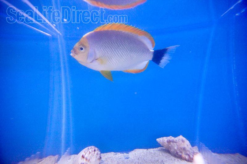 Masked Male Angelfish (Genicanthus personatus)