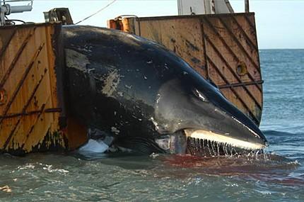 Minke Whale Captured and Killed