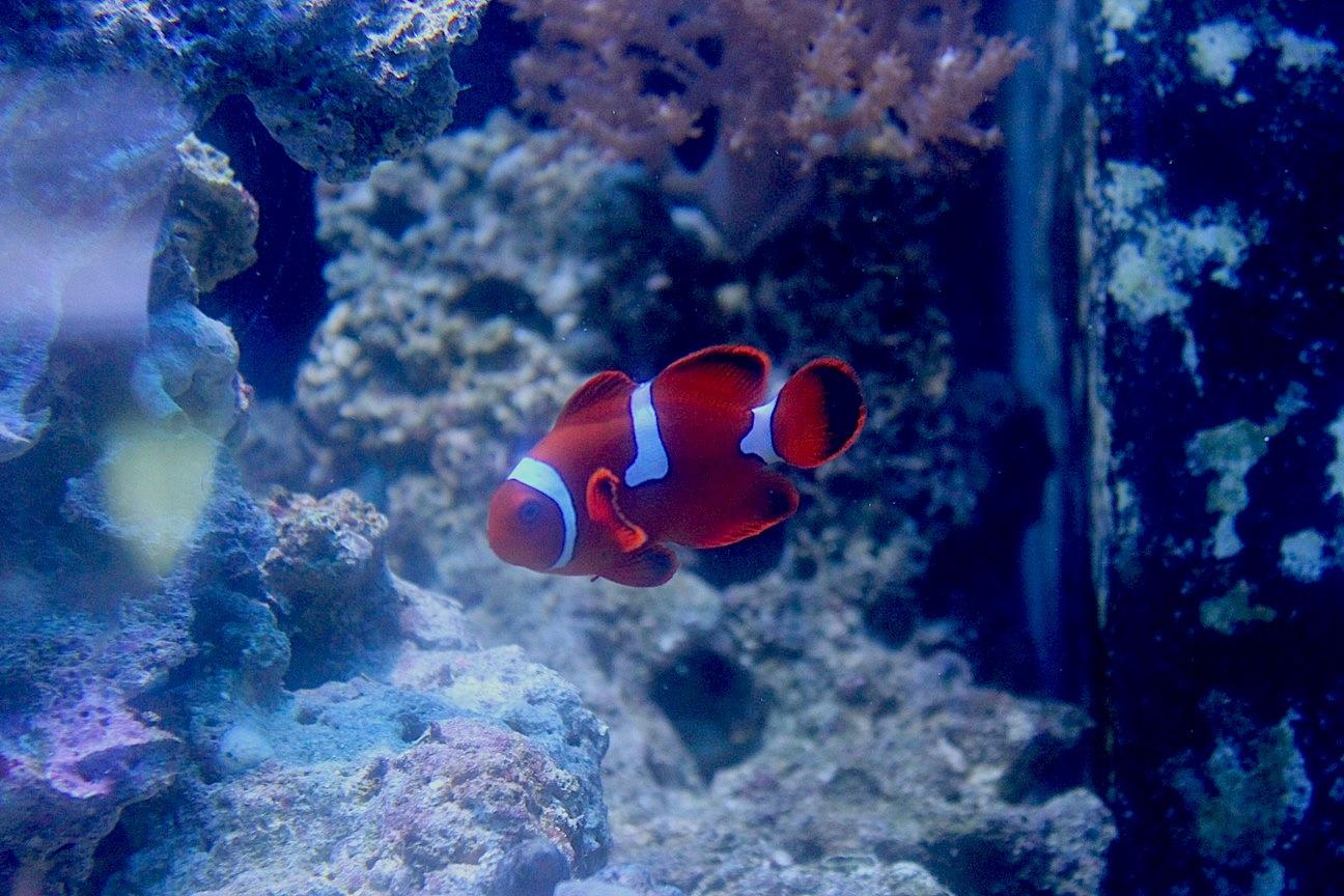 Misbar Maroon Clownfish