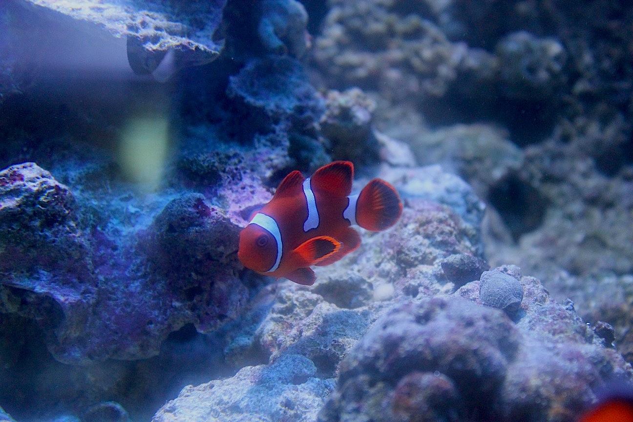 Misbarred Maroon Clownfish