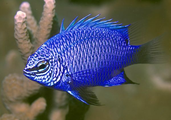 New PNG Damselfish (Chrysiptera cymatilis)