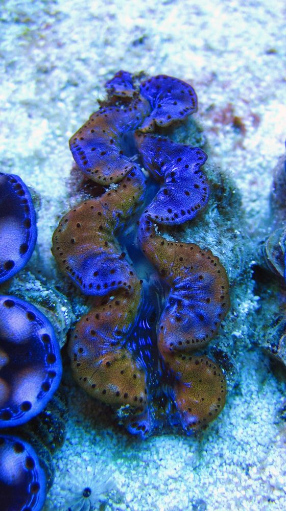 Rare Blue and Gold Clam