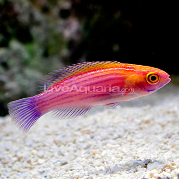 Earlei's Fairy Wrasse (Cirrhilabrus earlei)