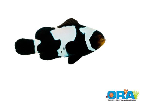 ORA Black Snowflake Clownfish