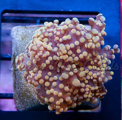 Orange Frogspawn from World Wide Corals