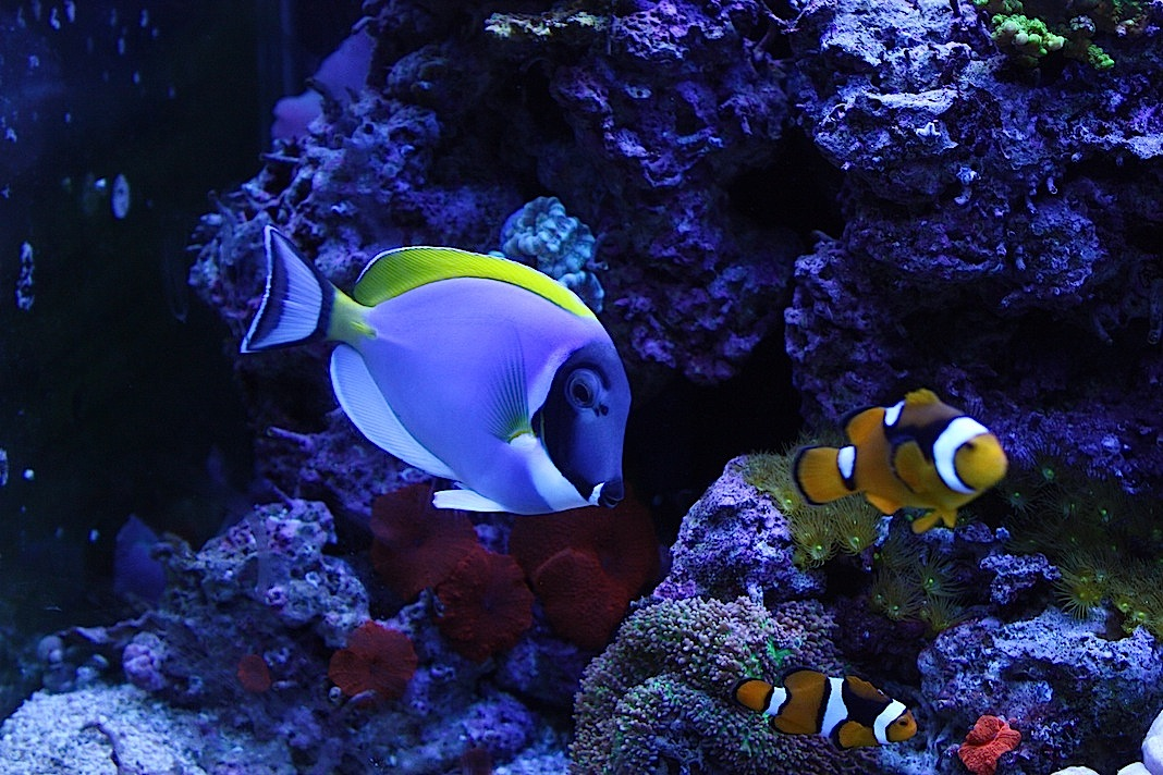 Powder Blue Tang and Percula Clowns