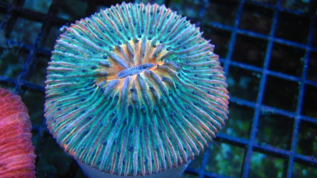 Rainbow Plate Coral from ReefKoi