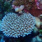 Wild Acropora Colony