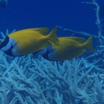 Wild Foxface Rabbitfish