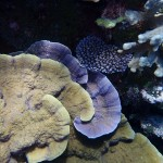 Wild Kwajalein Corals