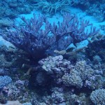 Wild SPS Colonies in Kwajalein