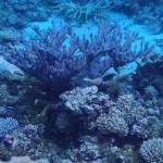 Wild SPS Colonies in Kwajalein