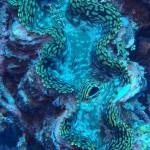 Wild Tridacna gigas Clam