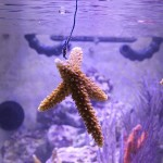 Acropora cervicornis Frag Growing Method