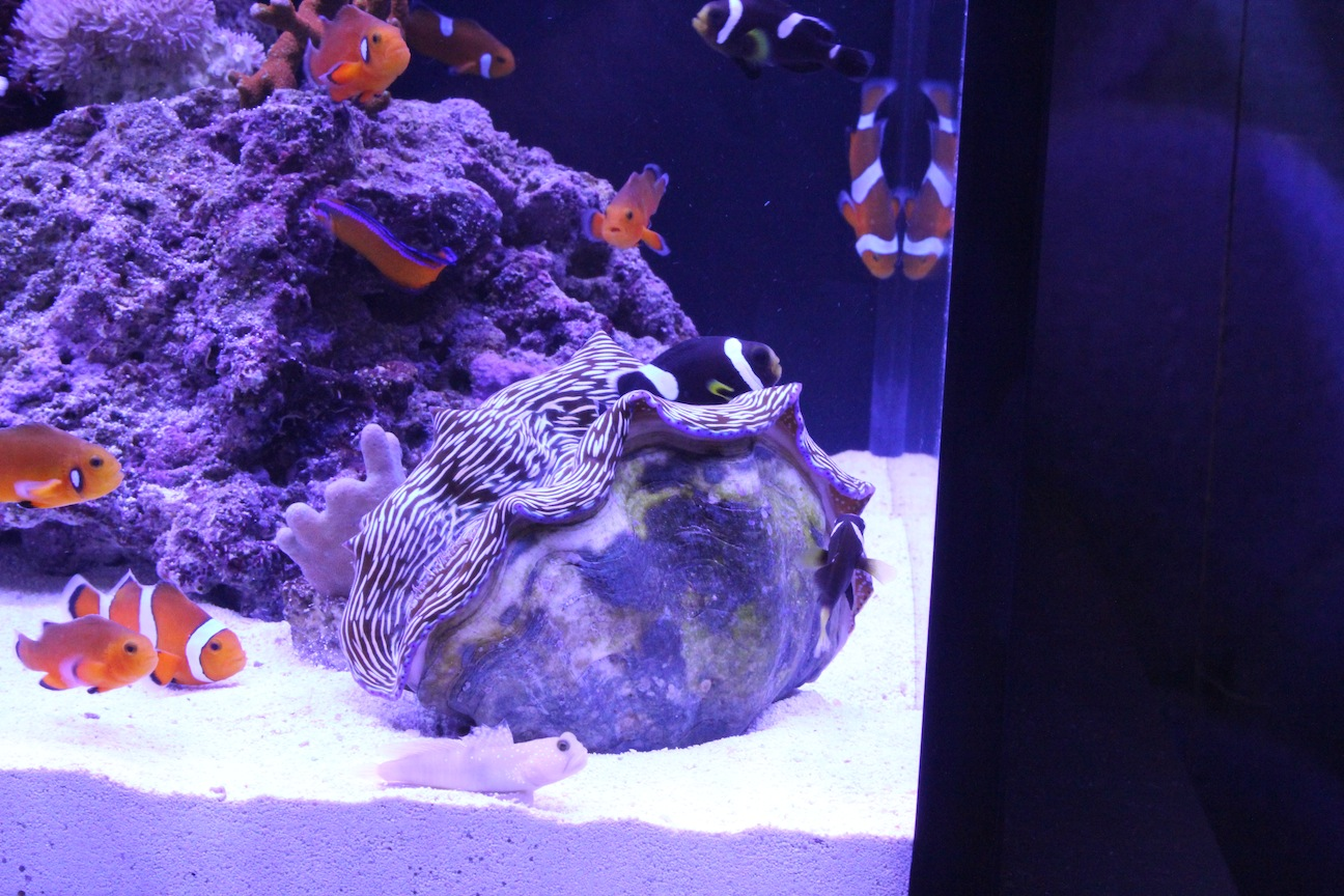 Clown Hosting in a Tridacna clam