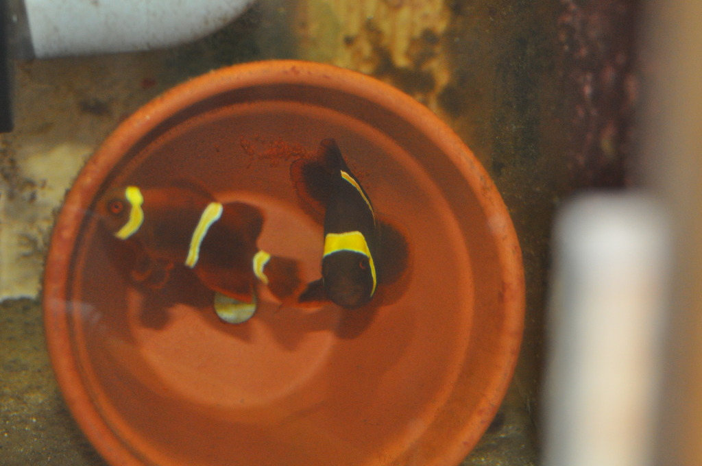 Gold Stripe Maroon Clowns with Eggs