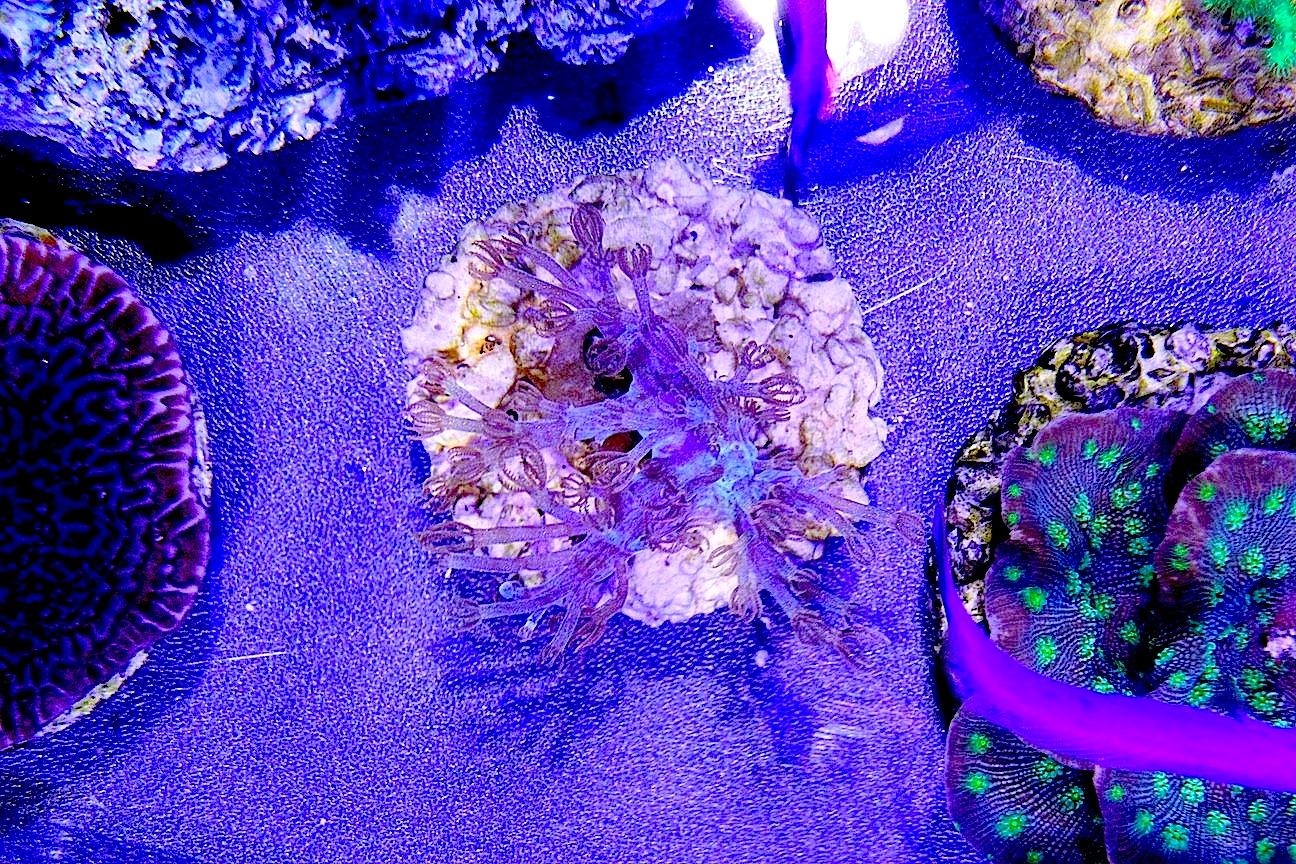 ORA Blue Cespitularia