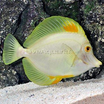 Aberrant Hawaiian Yellow Tang