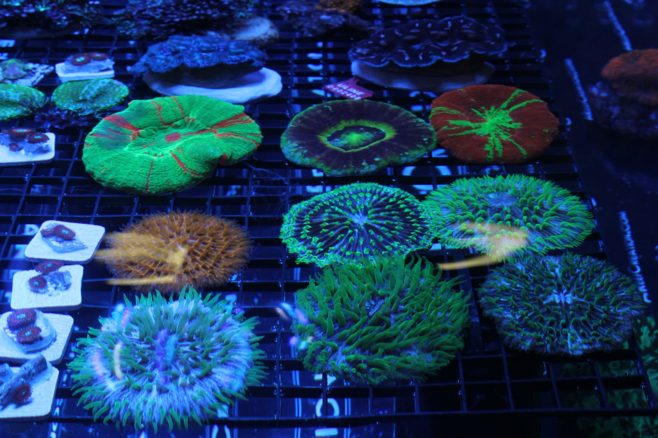 Gorgeous LPS Corals at MACNA