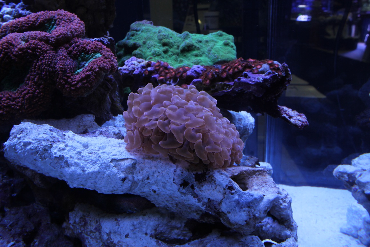Hammer Coral Under ATI Dimmable Sunpower