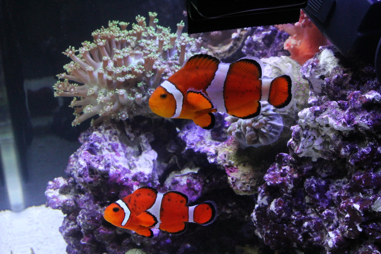 Ocellaris Clownfish with Black Spots
