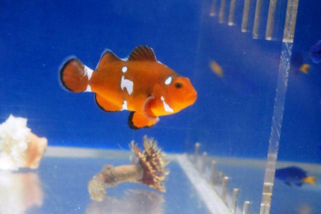 Splotchy Wild Percula Clownfish