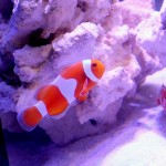 Tangerine Clownfish from Proaquatix