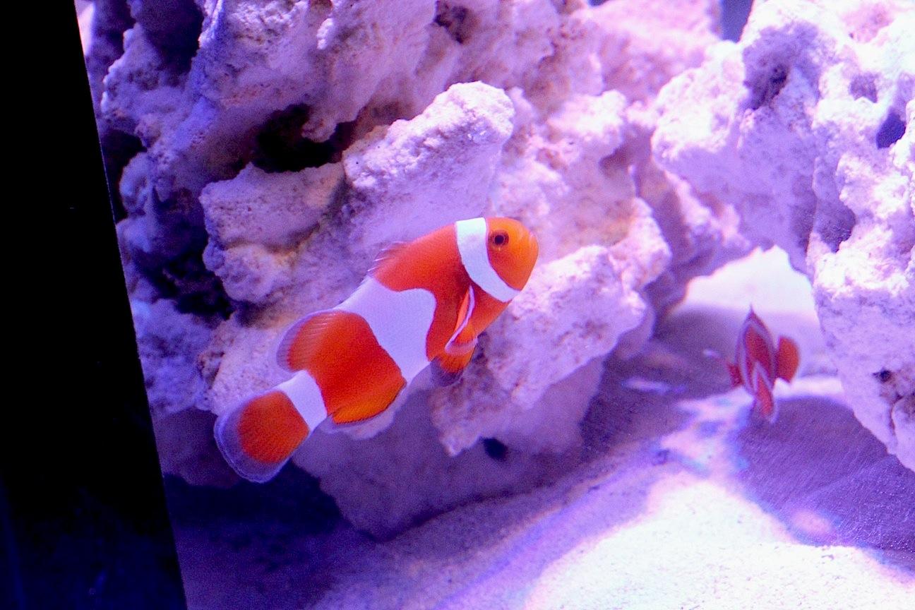 Tangerine Clownfish from Proaquatix